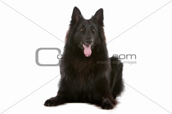 Groenendaeler or black long haired Belgium shepherd isolated on white