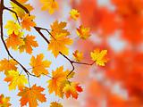 Autumn, sunny maple leaves, autumnal ornament.
