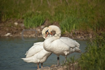 Pair of Mute Swans by a Pond