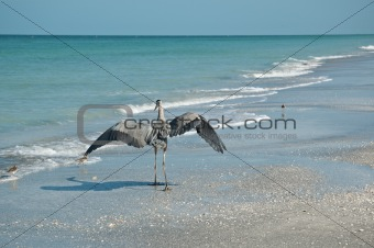 Great Blue Heron and Shorebirds on a Florida Beach