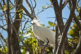 Snowy Egret Perched in a Tree