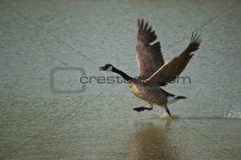 Canada Goose Running Across the Surface of a Pond