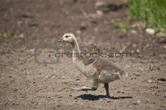 Canadian Gosling Walking in the Dirt