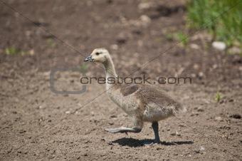 Canadian Gosling Walking in the Dirt