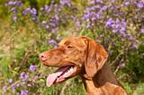 Close-up of a Vizsla Dog in Profile with Wildflowers