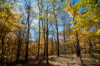 Forest with Fall Leaves and Blue Sky