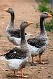 Gaggle Greylag Geese