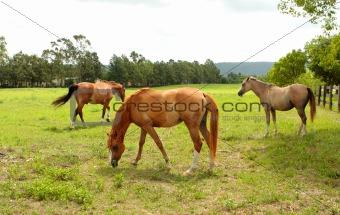 Grazing horses in a field