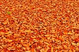 Fallen beach leaves autumn background