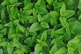 sweet mint background