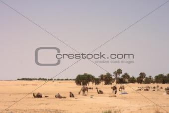 sahara with camels