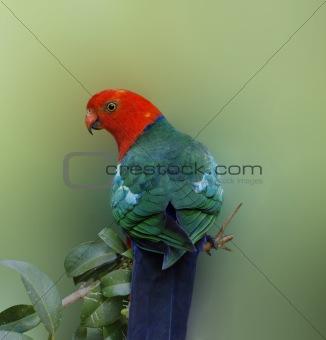 Australian wildlife bird king parrot Alisterus scapularis