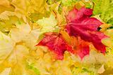 Maple leaves in beautiful autumn colours