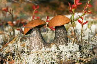 Aspen mushrooms in wood
