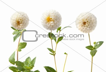 Beautiful white dahlias