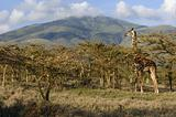 Giraffe in acacias. 