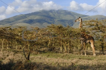 Giraffe in acacias.