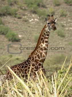 Portrait of giraffe.
