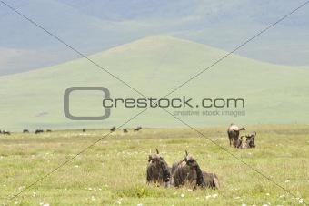 Antelopes on rest.