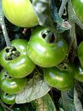 Green Tomatoes 6