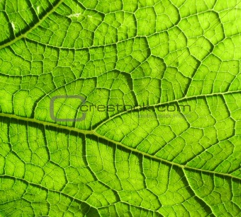 Underside Of A Green Leaf 4