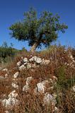 Olive tree on a small hill