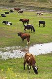 cows herd