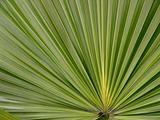 Palm Frond Fan
