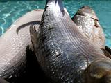 Fishes on pan against water background