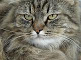 serious tomcat