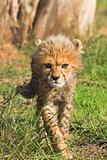 Stalking cub