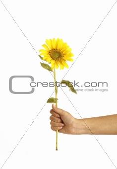 Hands holding a sunflower