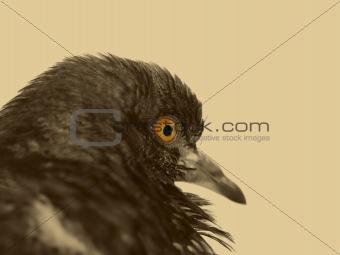 Scary dove