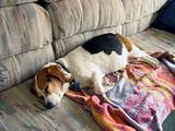 Beagle Snooze