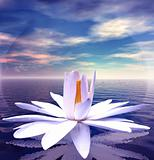 White lotus on water