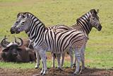Zebra & Buffalo