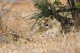 Lioness Licking