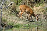 Bushbuck