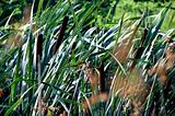 sunny green reeds swayed by the wind