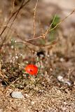 rare poppy flower from the island of corsica