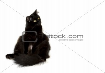 Black cat sitting on the left and watching to the right isolated on white