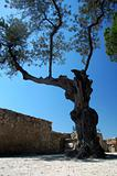 an old tree on a castle in lisboa