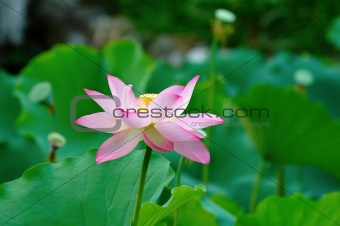 Single lotus flower among the pads (lotus leave)