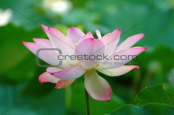 Blooming of lotus flower