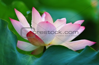 Blooming of lotus flower