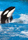 Orca Whale