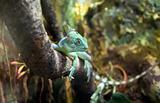 Basilisc iguana
