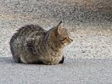 Tabby Cat.