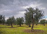 Olive-trees.