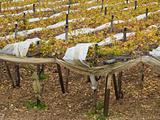 Fields of grape vines in apulian countryside.
